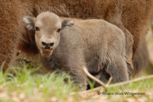 Wisent 17-300x200 in